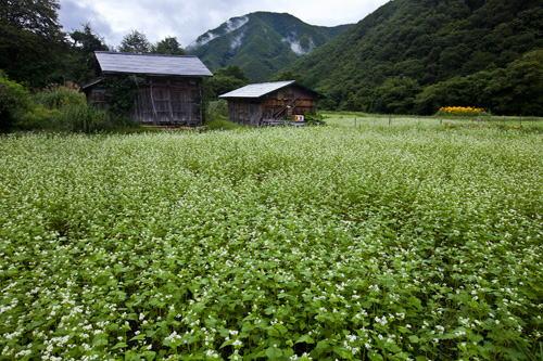 集落の蕎麦畑