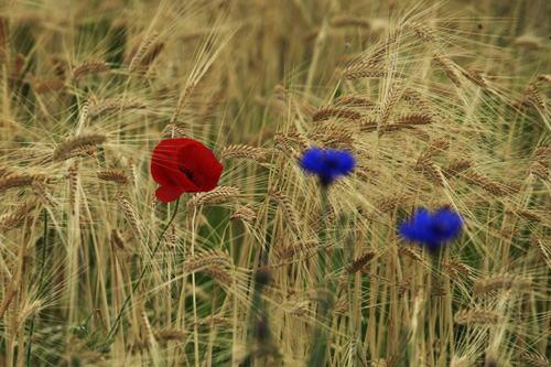 小麦畑のポピー